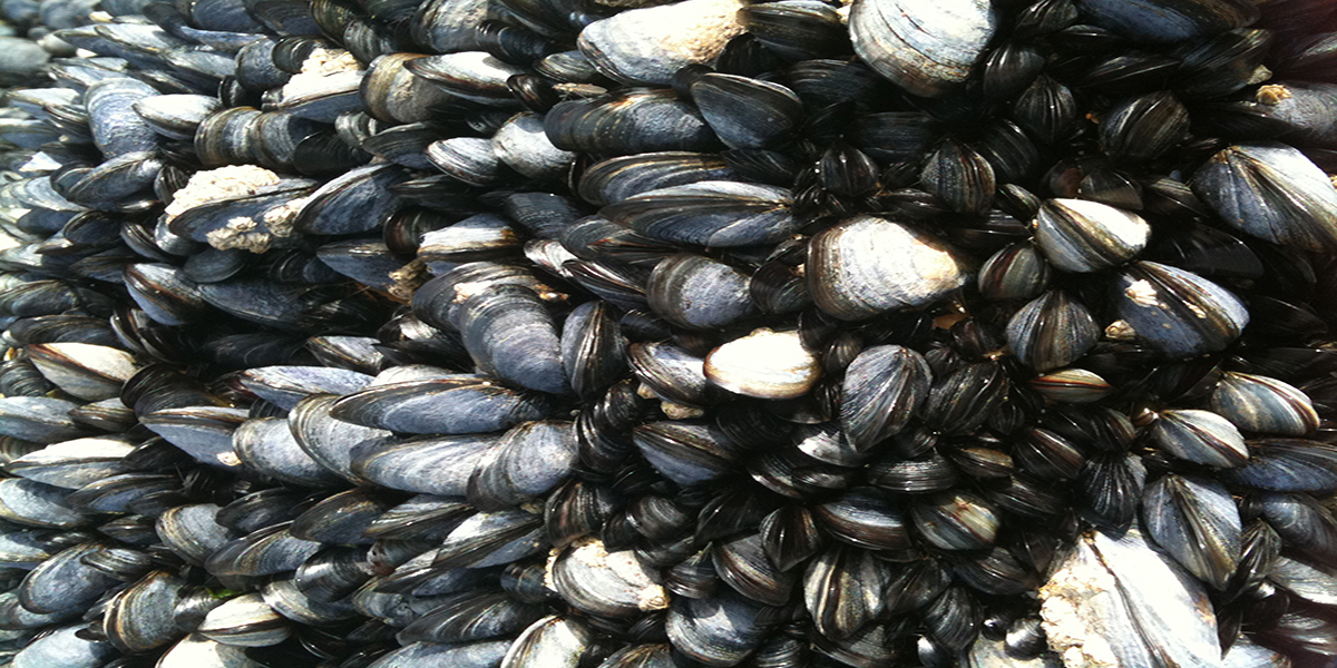 MUSSELS from along the North Norfolk Coast