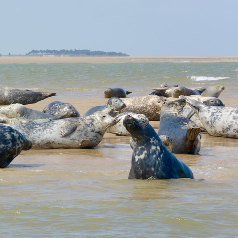 Seals basking on Stiffkey sandbank