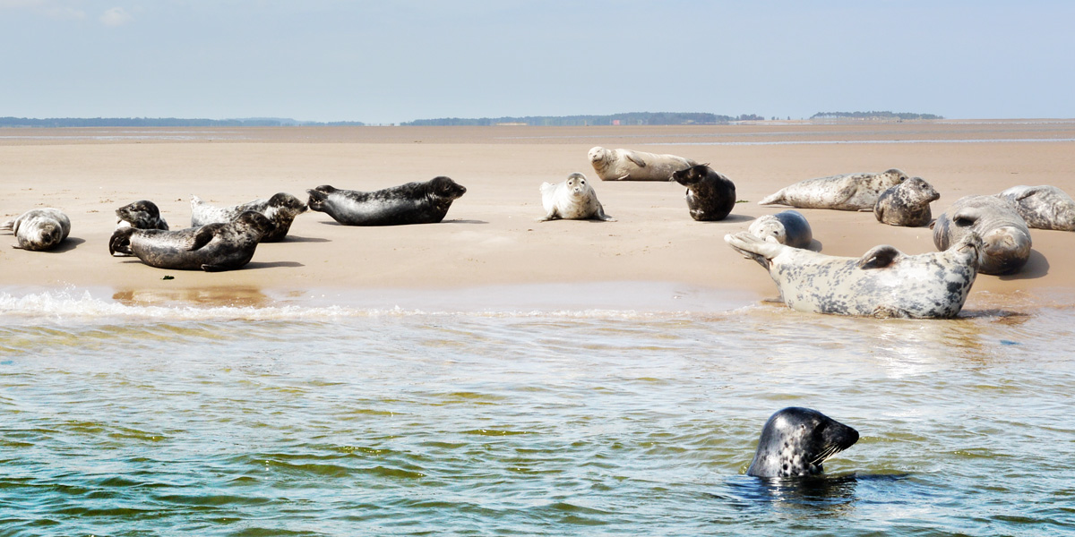 Blakeney Point Grey Seal Colony